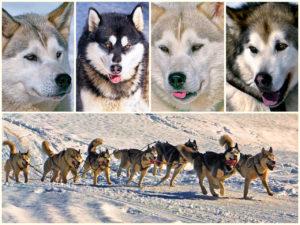 078 Hundeschlittenrennen – Fotoclub Münsingen
